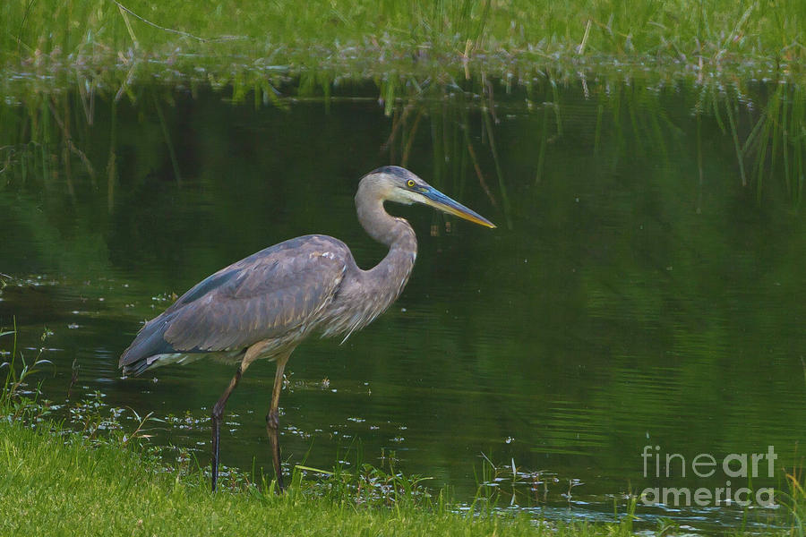 Blue Heron Hunting Photograph