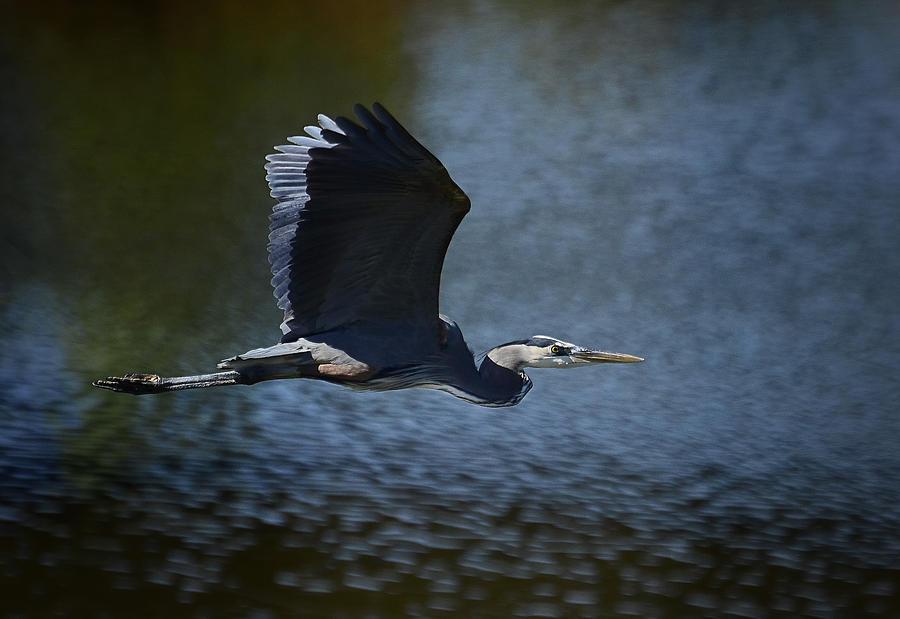 Great Blue Heron Photograph - Blue Heron Skies  by Saija  Lehtonen