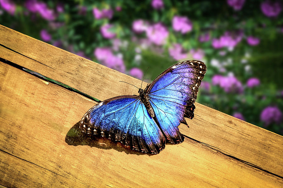 Blue Morpho Butterfly On A Wooden Board Photograph