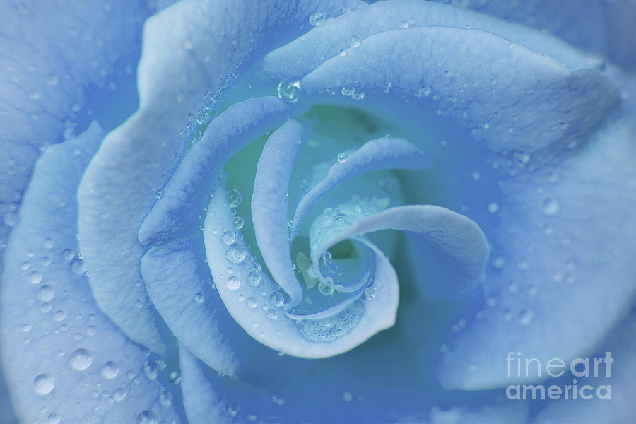 Flower Photograph - Blue Rose by Julia Hiebaum