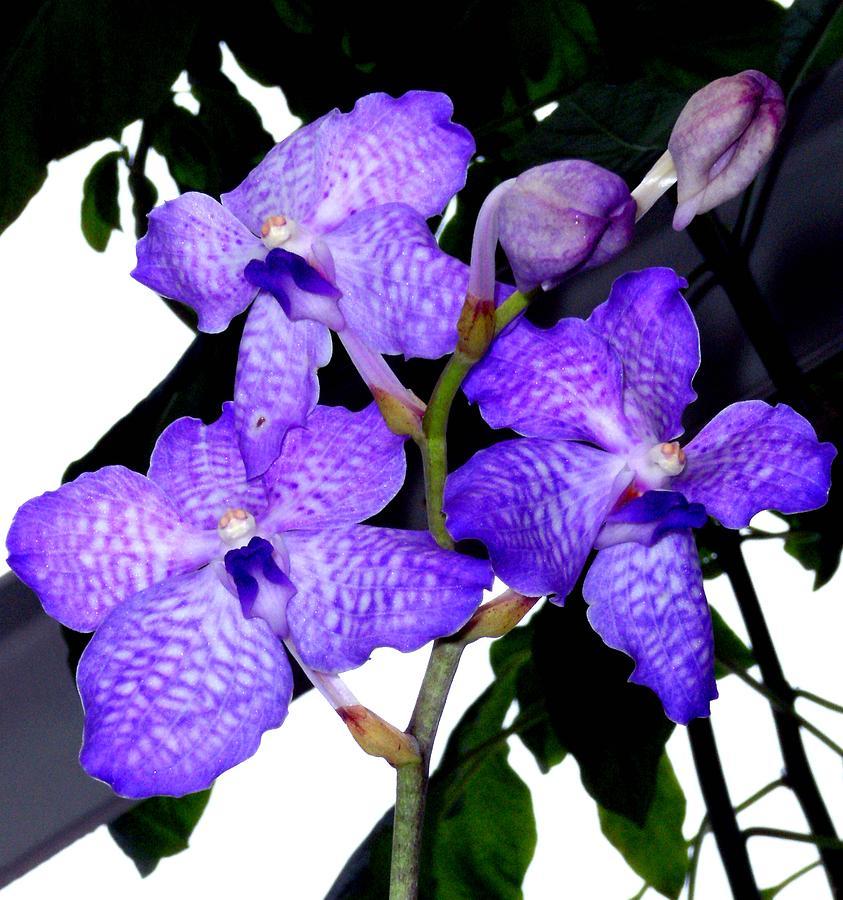 Orchids Photograph - Blue Violet Orchids by Mindy Newman