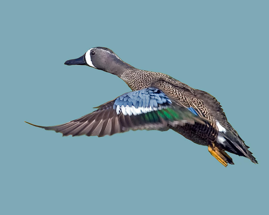 Blue-winged Teal Photograph - Blue-winged Teal by Larry Linton