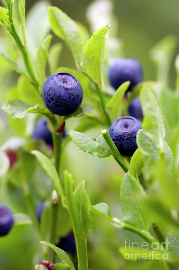 Blueberry Photograph - Blueberry Shrubs by Michal Boubin
