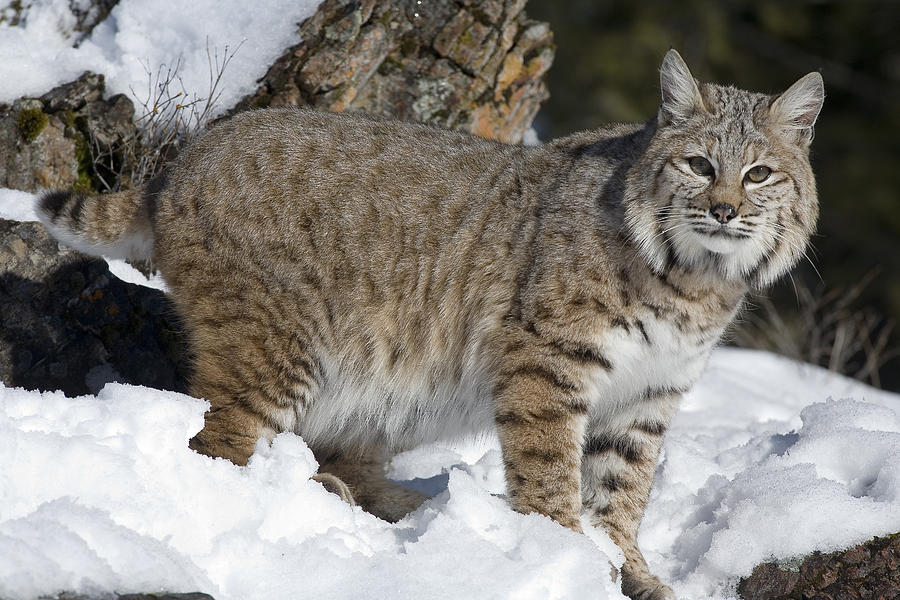 Bobcat Lynx Rufus In The Snow Photograph by Matthias Breiter