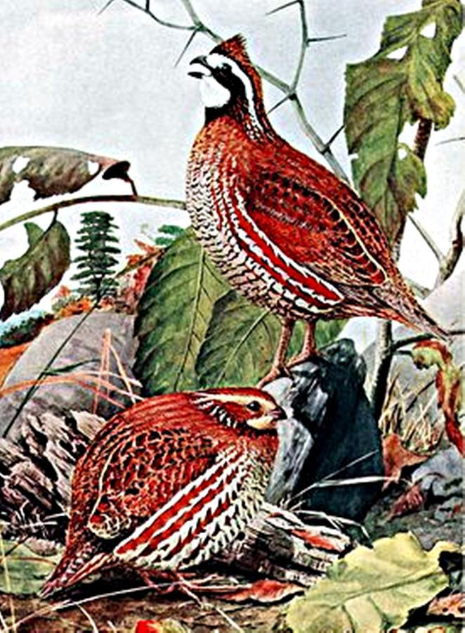 Bobwhite Quail Digital Art