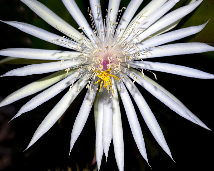 Cactus Flower Photograph - Bold Cactus Flower by Kelley King
