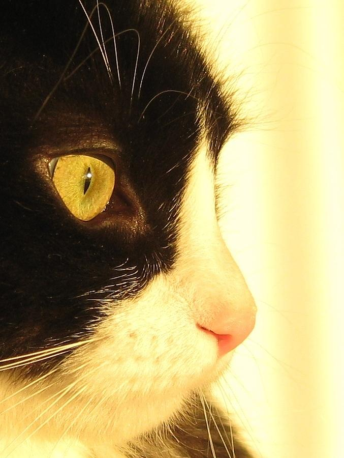 Cat Photograph - Bosco A by John Conrad Johnson III