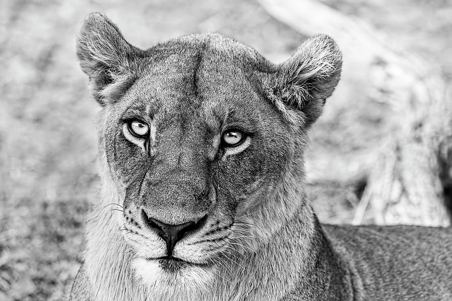 Botswana Lioness In Black And White Photograph by Kay Brewer