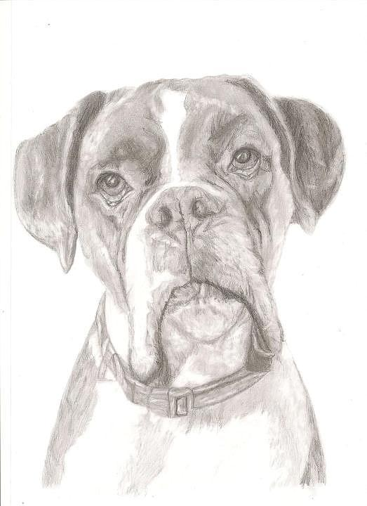 Boxer Drawing - Boxer by Rebecca Vose