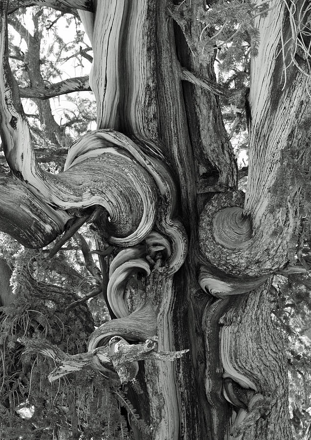 White Mountains Photograph - Bristlecone Pine Detail by Troy Montemayor