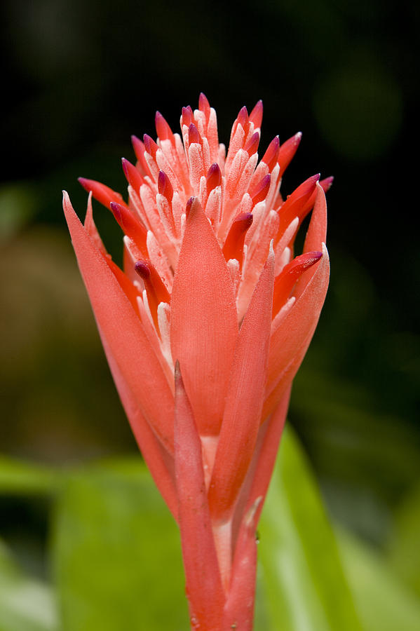 Closeups Photograph - Bromeliad Flower, An Epiphyte From C & by Tim Laman