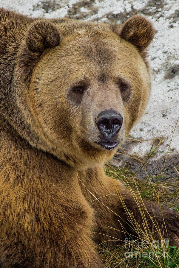 Brown Bear Portrait Photograph