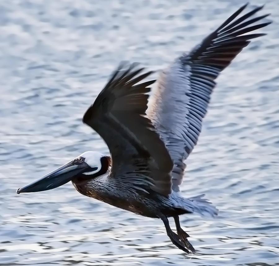Brown Pelican Away Digital Art