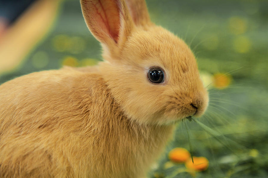 Bunny Chomp Photograph