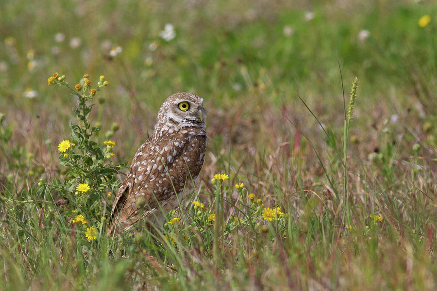 Burrowing Owl And Flowers Photograph