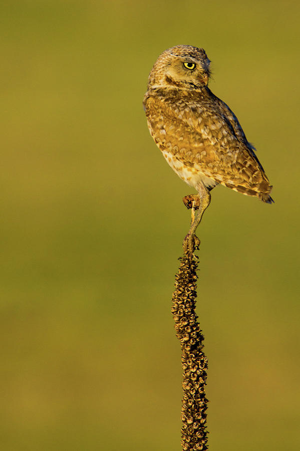 Burrowing Owl In Sunlight Photograph