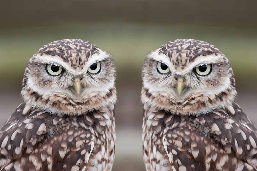 Burrowing Owls Photograph