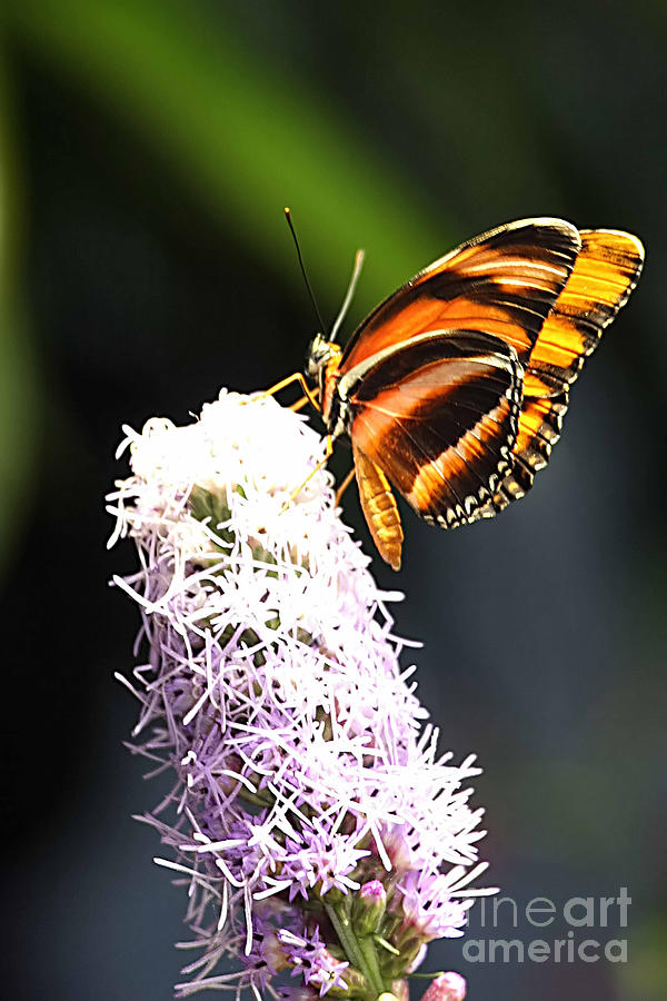 Photograph - Butterfly 2 by Tom Prendergast