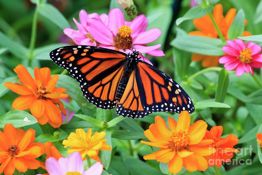 Butterfly On Zinnias Photograph