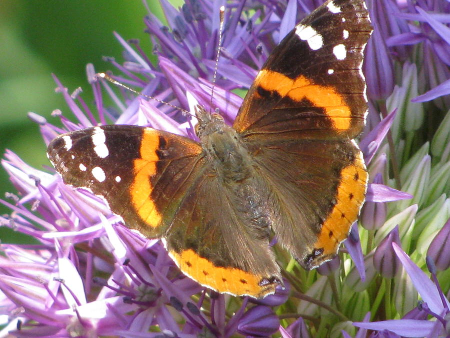 Butterfly Photograph - Butterfly With Allium by Alfred Ng