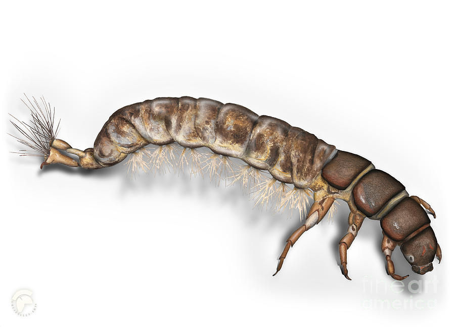 Caddisfly Larva Nymph Psychomiidae Hydropsyche Pellucidula - Painting
