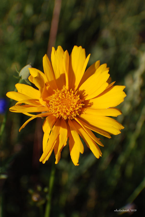 Flowers Photograph - Cafe Art Floral Series - Wild Sunflower  by Michelle  BarlondSmith
