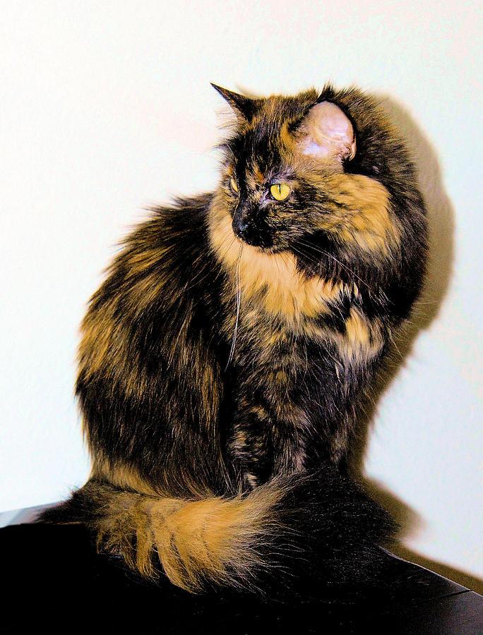 Cat Photograph - Calico Cats by Cheryl Poland