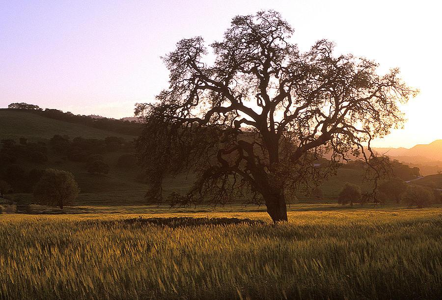 Oak Trees Photograph - California Hwy 25 Oak by Kathy Yates