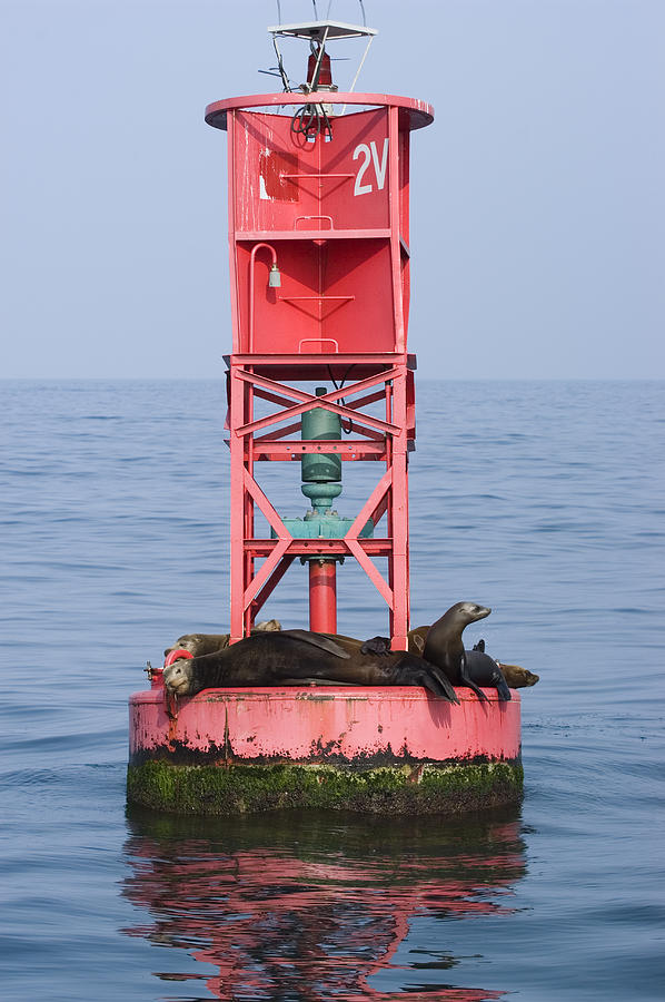 California Sea Lions Photograph - California Sea Lions Zalophus by Rich Reid