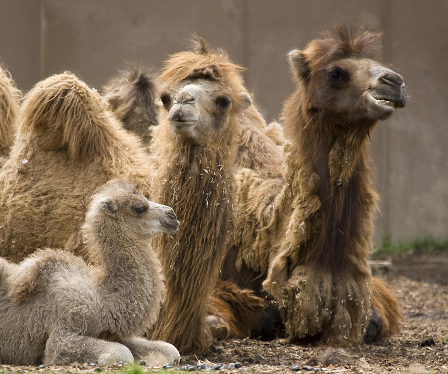 Camel Family Photograph By Deborah Molitoris