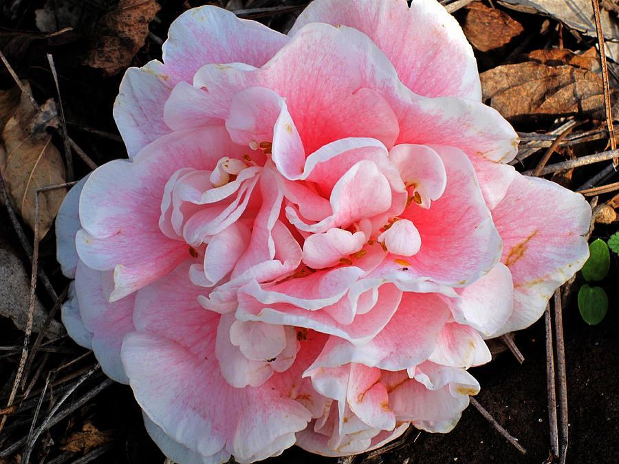 Camellia Flower Photograph