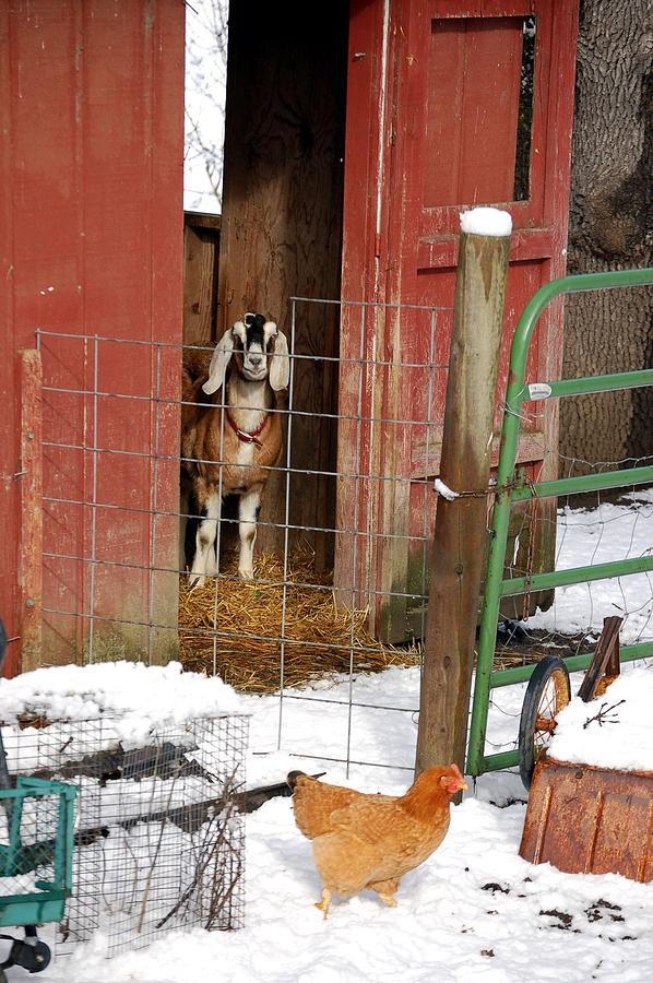 Farm. Farm Life Photograph - Can I Come Out Yet by Laura Mountainspring