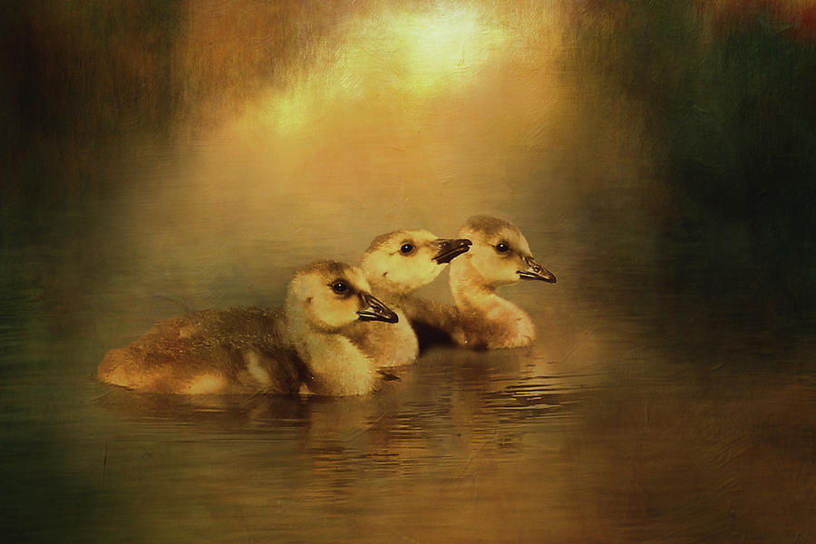 Canada Goose Goslings Digital Art