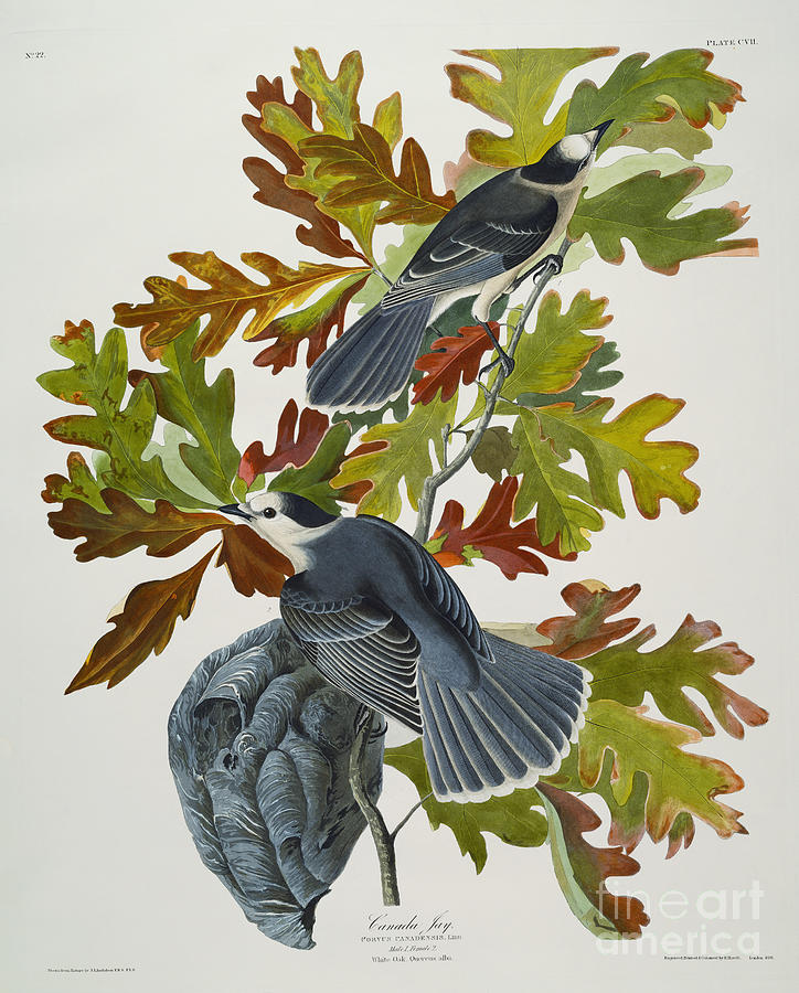 Canada Jay (corvus Canadensis) Plate Cvii From 'the Birds Of America' (aquatint & Engraving With Hand-colouring) By John James Audubon (1785-1851) Drawing - Canada Jay by John James Audubon