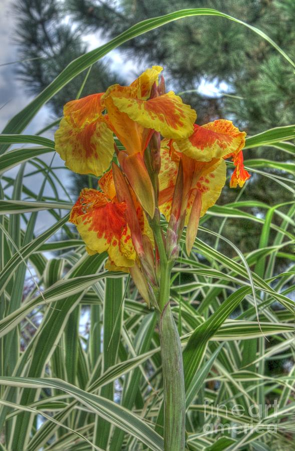 Canna Lily Photograph - Canna Lily by David Bearden