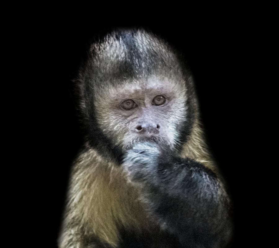 Capuchin Photograph