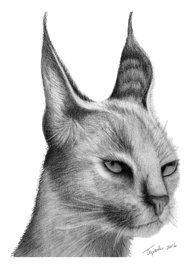 Caracal drawing - photo#11