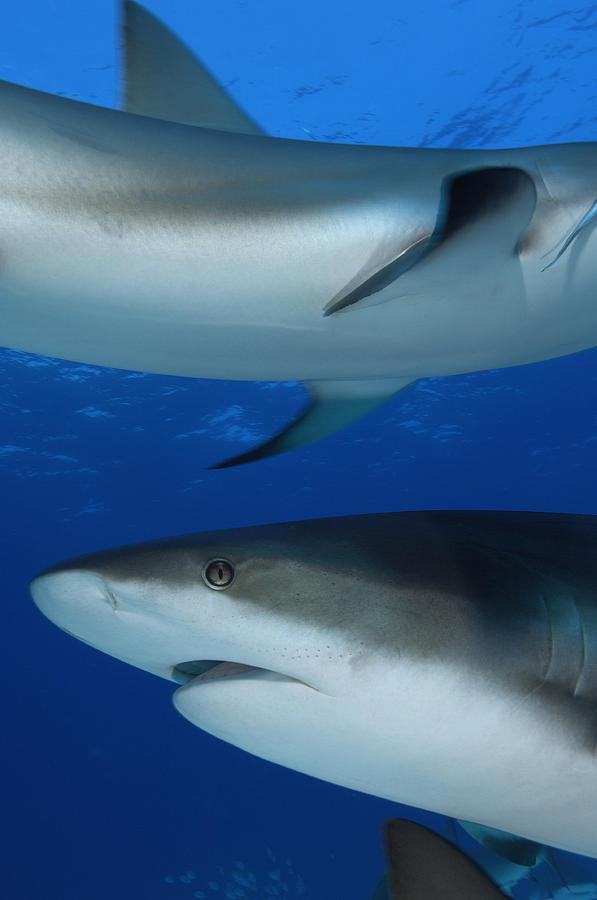 Caribbean Reef Sharks Swim Photograph
