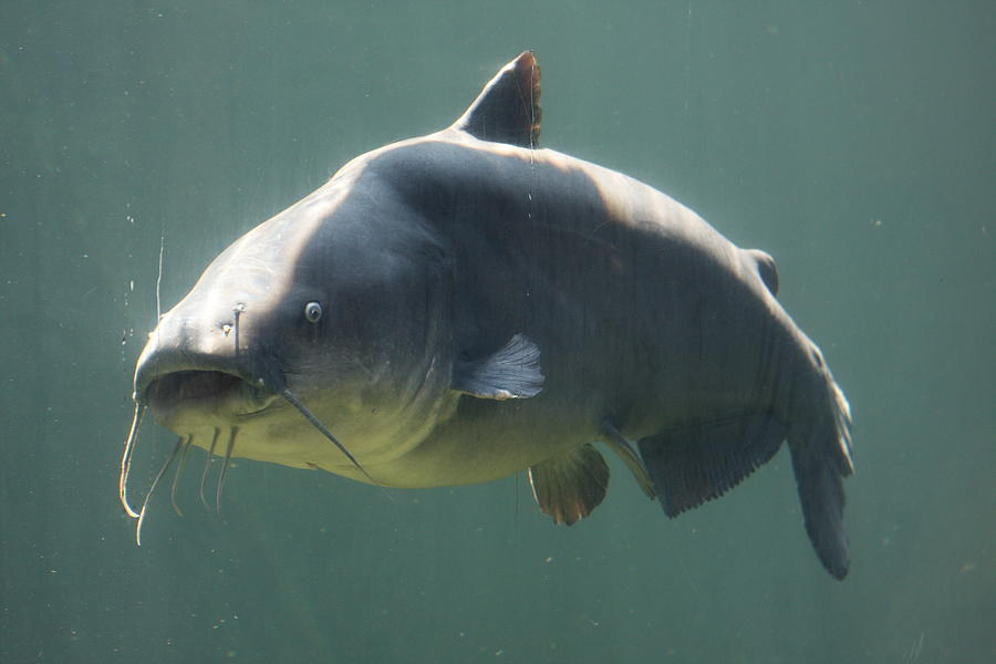 Catfish Photograph - Catfish by Jonathan Kotinek