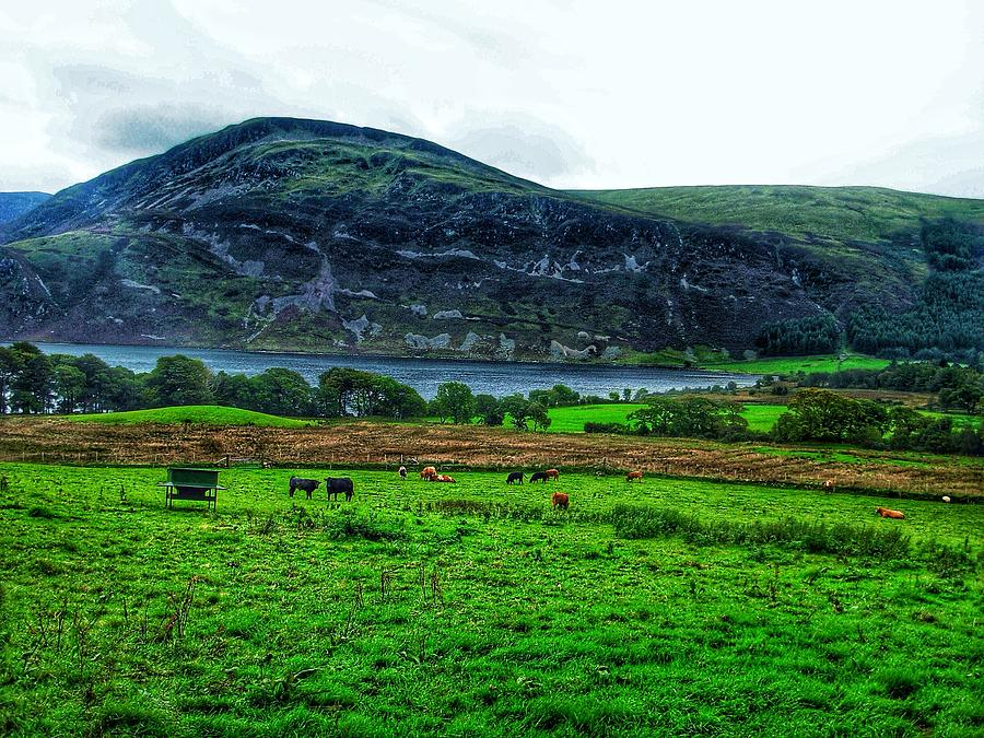 Buttermere Photograph - Cattle Grazing At Buttermere by Joan-Violet Stretch