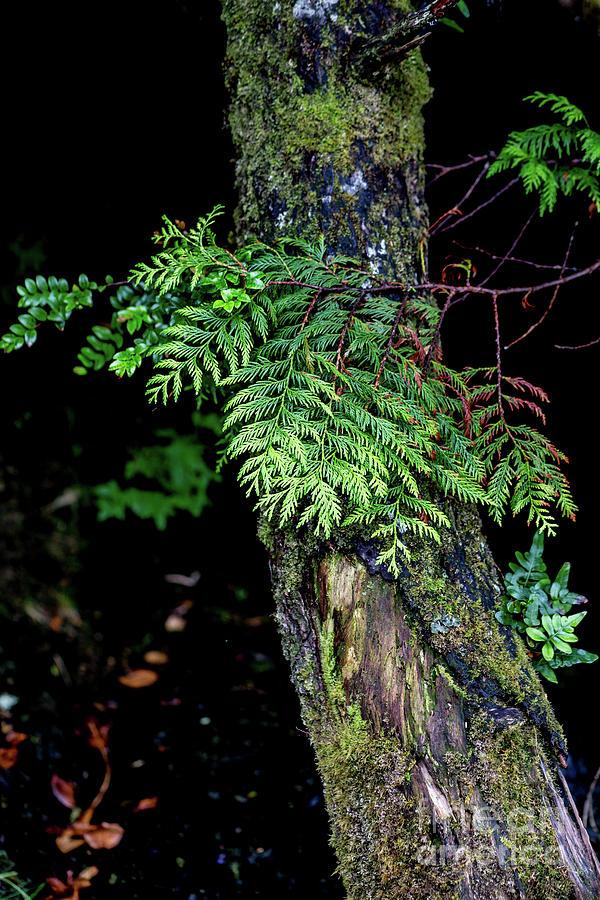 Cedar Shadows Photograph