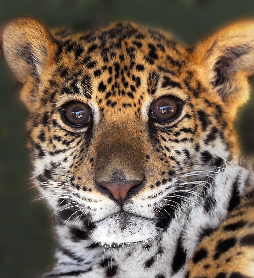 Cheetah Photograph