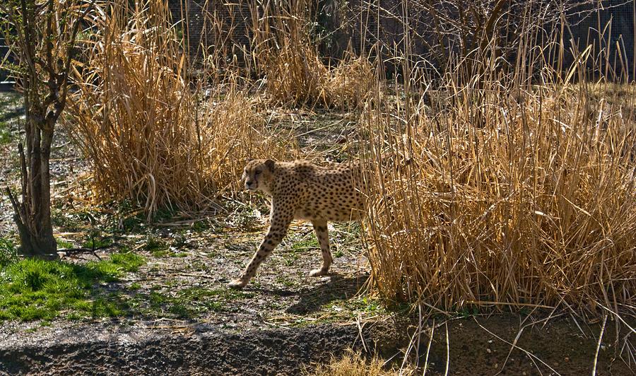 Cheetah Photograph - Cheetah  In The Brush by Douglas Barnett