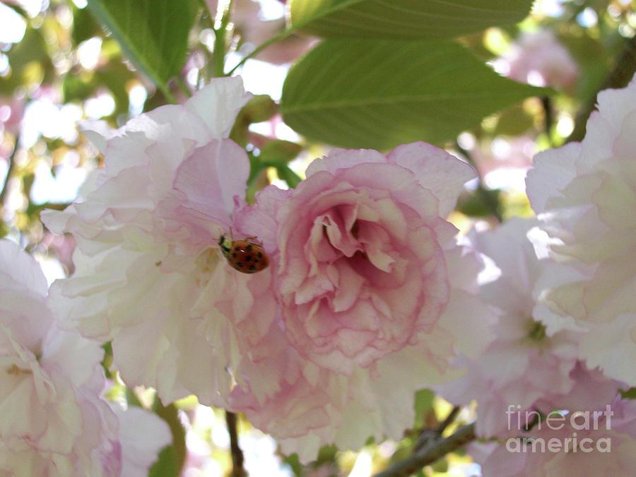 Cherry Blossom Lady Bug Photograph