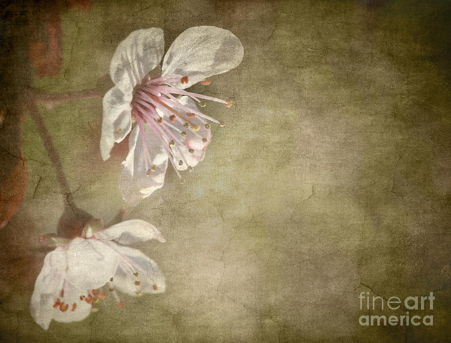 Aged Photograph - Cherry Blossom by Meirion Matthias