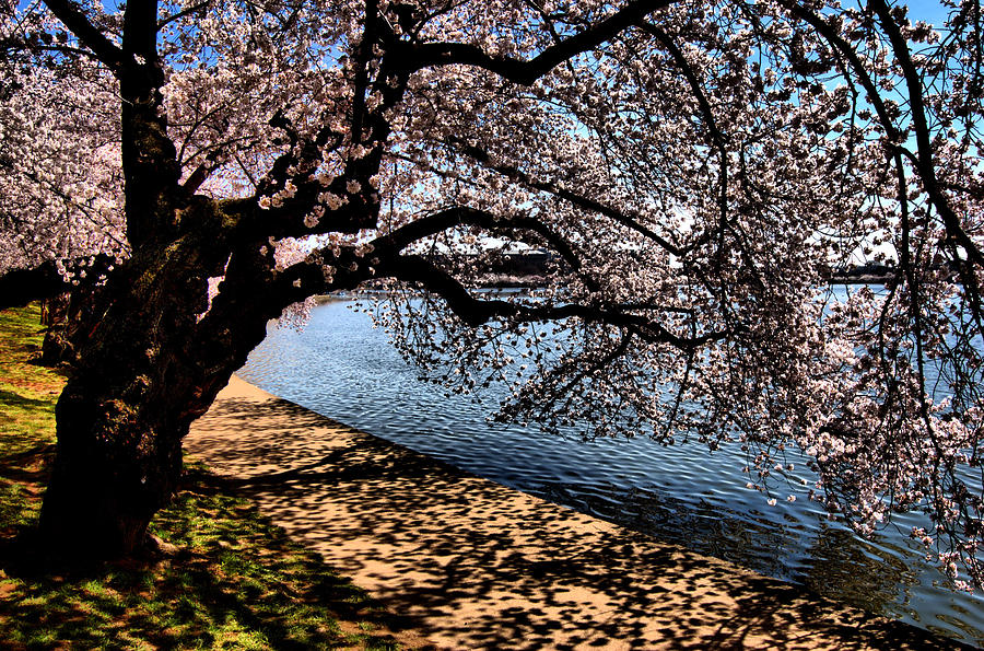 Cherry Blossoms Photograph - Cherry Blossoms - Washington Dc by Wayne Higgs