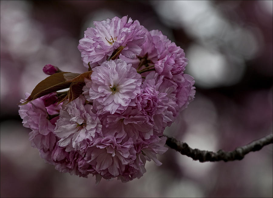 Cherry Blossoms Photograph - Cherry Blossoms 2 by Robert Ullmann