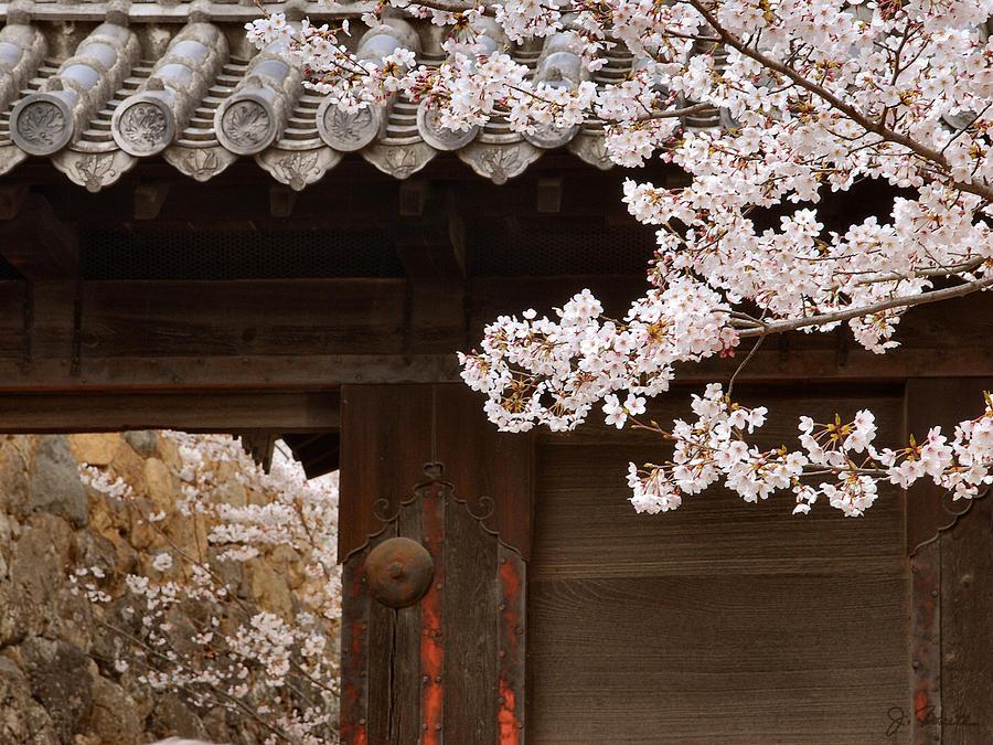 Cherry Blossoms Photograph - Cherry Blossoms by Joe Bonita