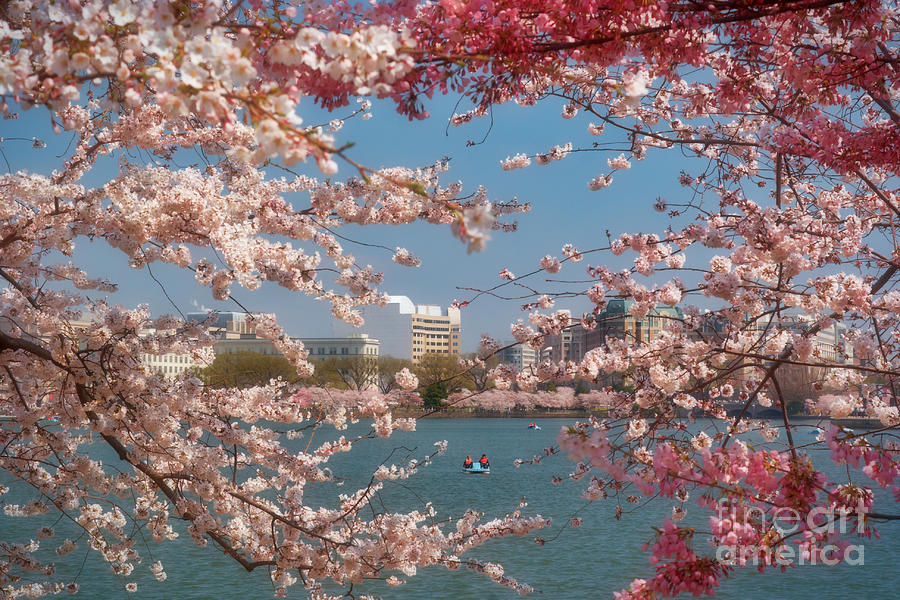 Cherry Photograph - Cherry Blossoms On The Edge Of The Tidal Basin Three by Susan Isakson