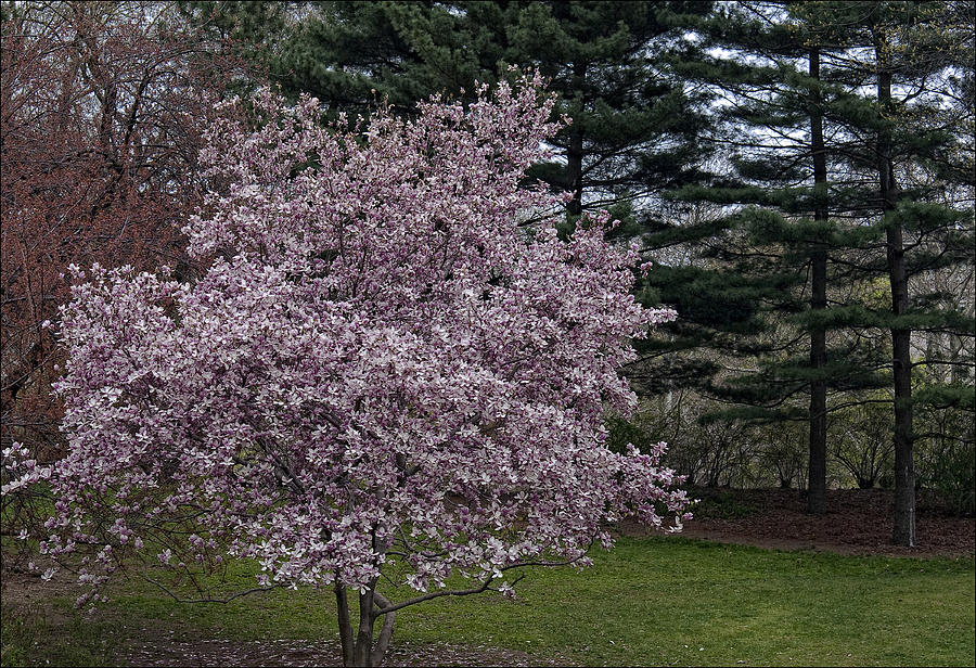 Cherry Blossoms Photograph - Cherry Tree And Blossoms by Robert Ullmann